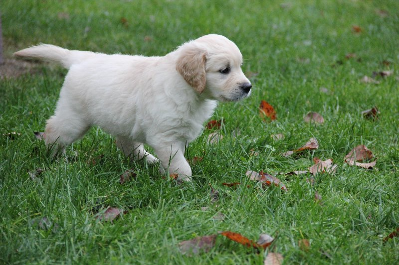 Rüde blau 6 Wochen alt